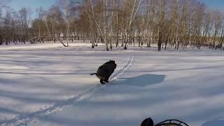 Погоня за кабаном на снегоходе видео