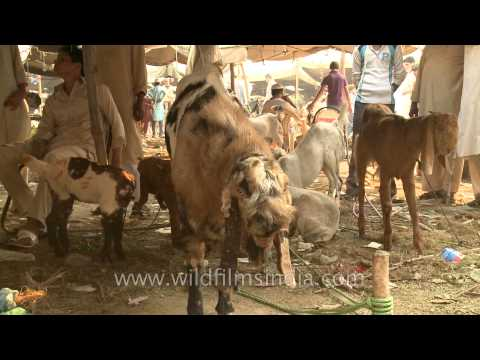 Goat Market for Bakri Eid near Jama Masjid, Old Delhi - YouTube