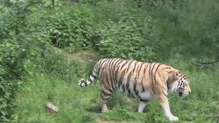 Обнаружен ночью тигр в заповеднике