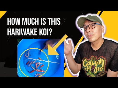How Much Do Koi Fish Cost (hariwake)Tagalog Version