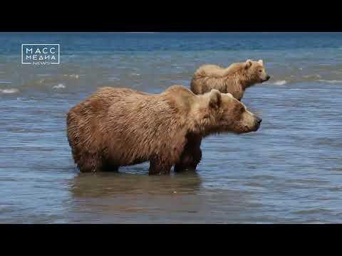 На Камчатке голодают медведи   Новости сегодня   Происшествия   Масс Медиа
