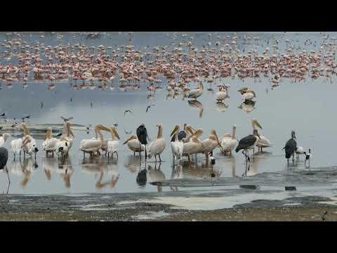 Flamingos and Pelicans on Lake Manyara, Tanzania, 2017-09-10