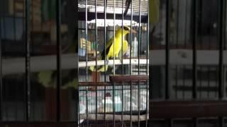 Video burung kapodang berbicara yg ada satu di bone download MP3, 3GP, MP4, WEBM, AVI, FLV Maret 2018