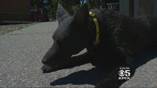 Lifelike Fake Dog Used To Train K-9 Handlers On Lifesaving Techniques