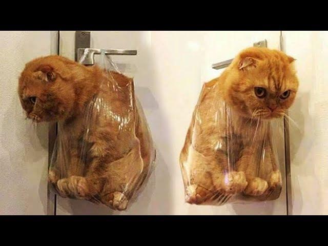 「かわいい猫」 笑わないようにしようとしてください - 最も面白い猫の映画 165