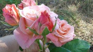 видео саженцы роз почтой