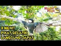 Masteran Gelatik Batu Cara Pikat Burung Gelatik Format Mp3