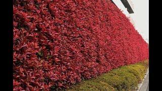 レッドロビンの特徴、剪定、お手入れ ~生垣に人気の庭木~ 加須市・久喜市・幸手市の植木屋