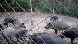 Каникулы в Карпатах - Олени и дикие кабаны(Отдыхая в Карпатах, мы посетили мини-зоопарк в Яремче. Покормили оленей и диких кабанчиков. Встретили милог..., 2016-11-07T19:13:35.000Z)