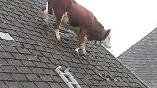 Repeat youtube video Cow Intelligence & ability. Smart cattle.