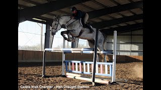 Cappa Irish Charmer - Imported, Approved Irish Draught Stallion Grand Prix schooling