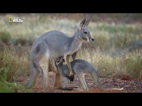 Kangaroo Return - National Geographic