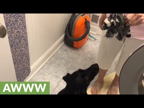 Labrador patiently waits for stuffed animals out of drying machine