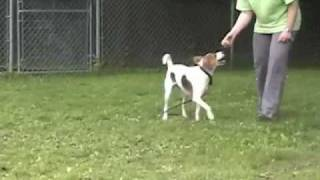 Sparkie is a medium-sized female Foxhound mix who is about 2 years ...