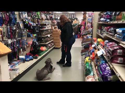 Hooksett Dog Trainer| Goffstown Dog Trainer | 5 month old Weimaraner Harper