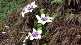 Growing and Planting Clematis