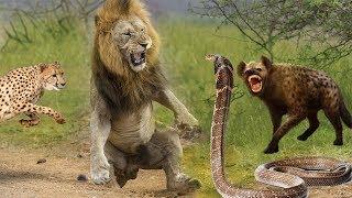 Top 10 Ataques De Animales Salvajes | Rey Cobra Serpiente, Leones, Leopardo Cazador, Hienas