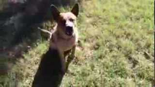 Bauer Australian Cattle Dog Near Houston Looking For A Home