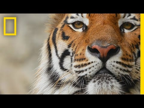 Tigers 101 National Geographic Youtube