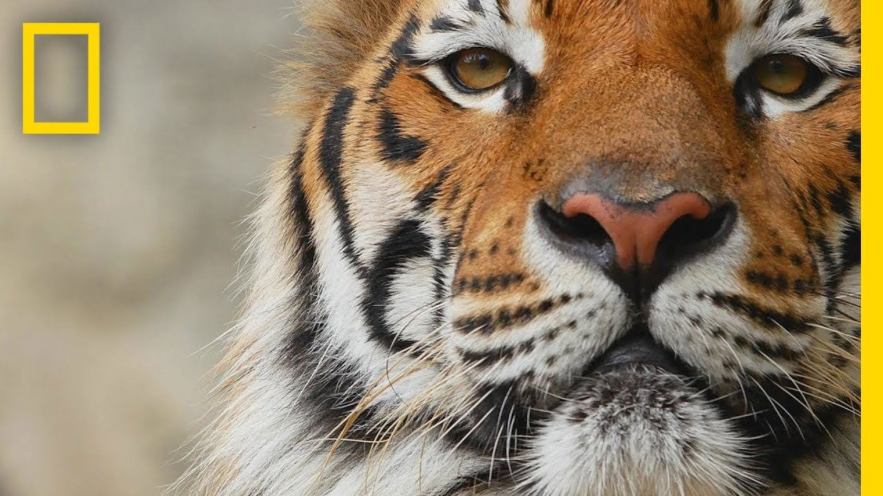 Download Tigers 101 | National Geographic