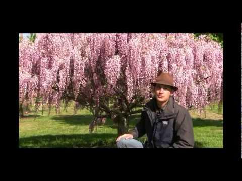 How To Grow Wisteria Vine As A Tree Gurney S Video Youtube