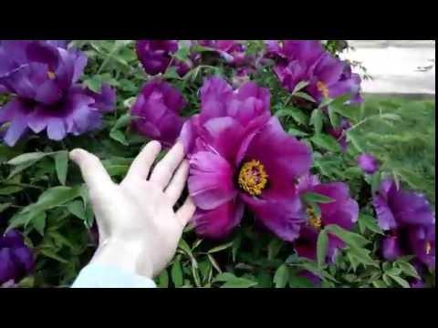 Пион Древовидный. Неймоверно красивое цветение