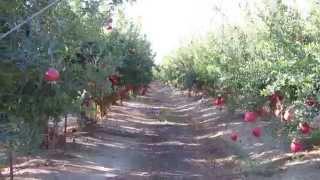 Pomegranate orchard in Israel מטע של רימונים מלאי פרי