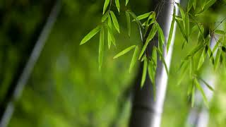 Japanese Zen Music | Bamboo | Instrumental Koto Music 🌸 1026