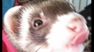 litter box train ferret  + bonus safety tips