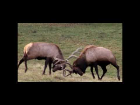 Buck And Bull Fights At KG Deer Ranch