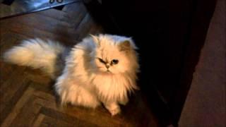 Persian cat Busja opens the door with his paw. Персидская кошка.