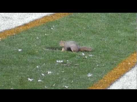 Squirrel on field Browns Ravens game 12-4-11