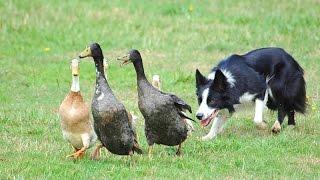 Собаки породы Бордер колли!