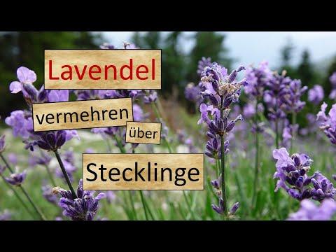 Top Lavendel vermehren durch Stecklinge - YouTube RD62