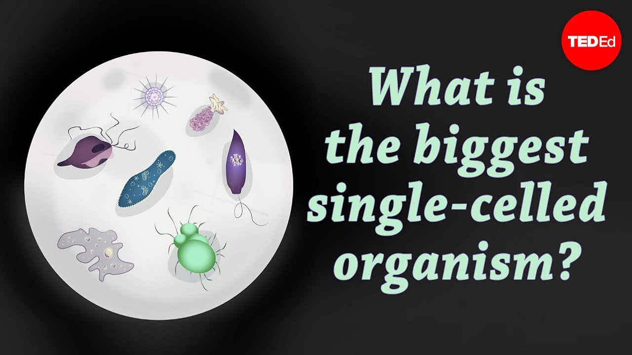 One Celled Organism >> What Is The Biggest Single Celled Organism Murry Gans Youtube
