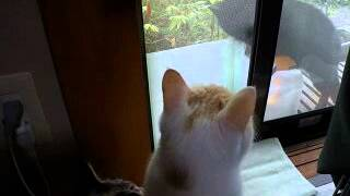 黒猫がやってきて、網戸越しにうちの猫たちとうなりあいが始まりました。