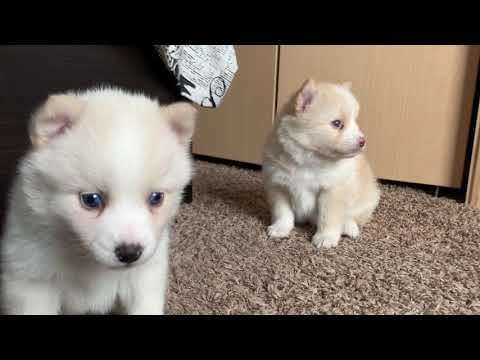 Harmony Pomsky With Blue Eyes Hanging Out With The Siblings