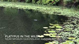 Platypus near Minbun in Queensland Australia