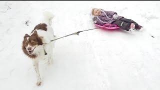Запрягли собаку в детские санки