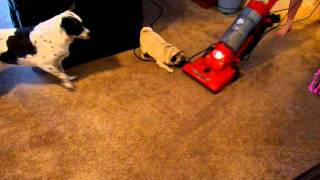 Pug Attacks Vacuum (vac Attack)