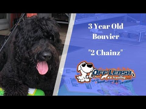 3 Year Old Bouvier '2 CHAINZ' 2 Week Board & Train- Dog training Raleigh Durham