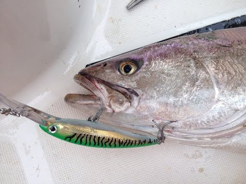 Trolling For White Seabass And Halibut In California