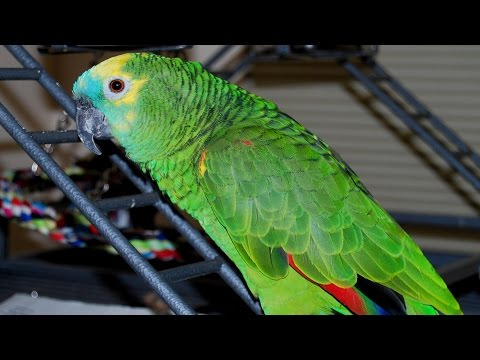 A Blue Fronted Amazon Parrot in 4K – Amazona aestiva