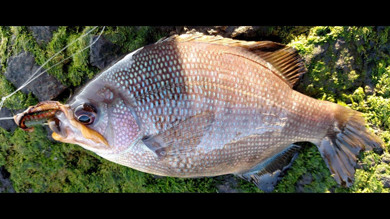 Sf bay treasure island dusk perch fishing youtube for Sf bay fishing report