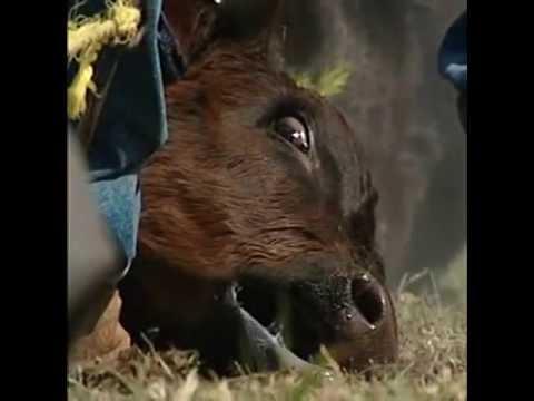 Cattle Branding (2004)