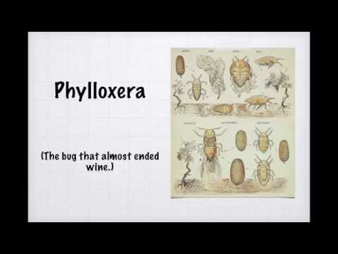 wine article Winecast Phylloxera