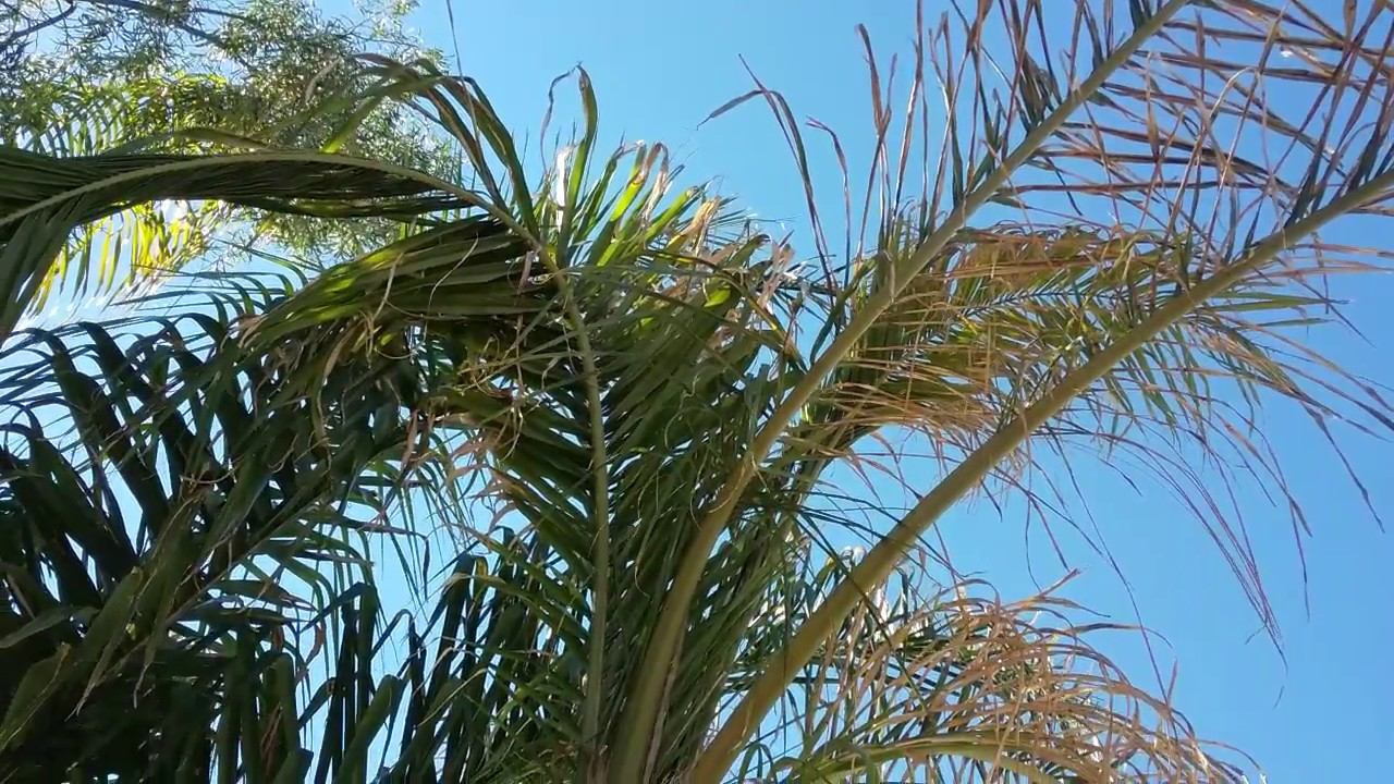 Queen Palm Leaves Turning Yellow Mesa Az 480 969 8808 Warners Tree