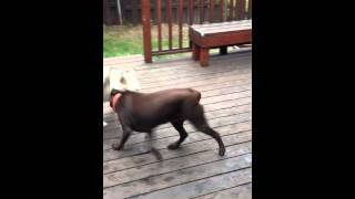 Siberian Husky & Chocolate Lab Playing