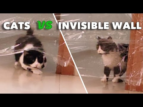 Cats Vs Invisible Wall Funny Moments | My Cat'S Reaction To The Invisible Wall
