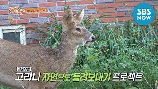 [순간포착 세상에 이런일이] Ep.1055 예고 '고라니 자연으로 돌려보내기 프로젝트!' / 'What on Earth!' Preview   SBS NOW